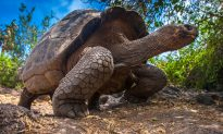 Huge Galapagos Tortoise Mom Gives Birth to Itty-Bitty Baby Tortoises at Zurich Zoo