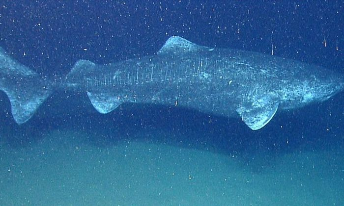 A file photo of a Greenland shark (Public Domain)