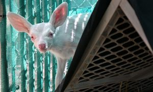 Rare Albino Fawn Found and Rescued by Trucker in California