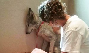 Sick Wolf Dog Was So Scared He Kept Hiding in Corners Until He Met New Friend