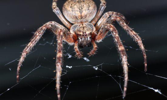Australian Man Films Horrifyingly Large Huntsman Spider Carrying Dead Mouse Up the Fridge