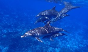 Grieving Dolphin Can't Accept Her Calf Is Dead, Pushes It Through Florida Waters