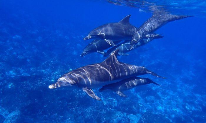 Stock image of Dolphins. (AJRPROJ/Pixabay)