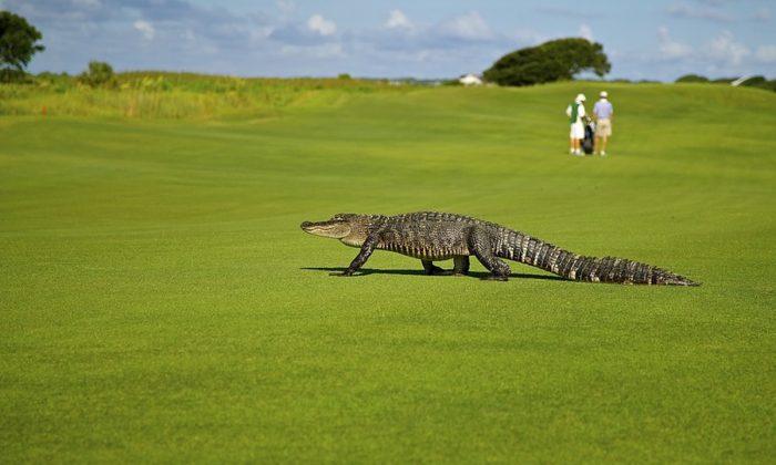 Stock photo of an alligator. (Skeeze/Pixabay)