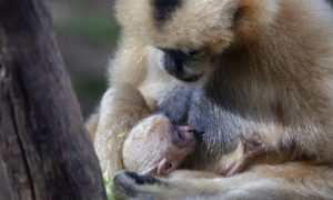 Extremely Rare Gibbon Born at Perth Zoo in Australia