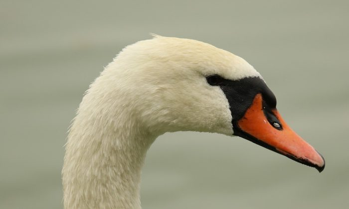Stock image of a Swan. (OrnaW/Pixabay)