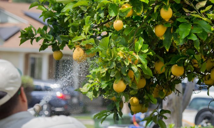 Workers spray insecticide on citrus trees in Whittier, Calif. on April 18, 2018. (Robyn Beck/AFP/Getty Images)