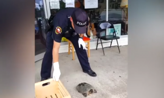 This Officer Is Too Scared to Pick Up This Snapping Turtle