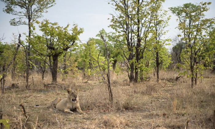 A lioness is pictured in Hwange National Park in Zimbabwe in a file photo. (Martin Bureau/AFP/Getty Images)