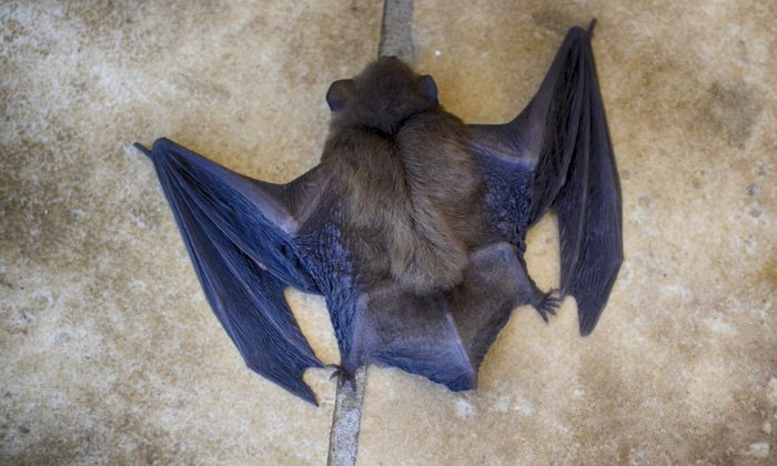 Stock image of a bat. (Dana Tentis/Pixabay)