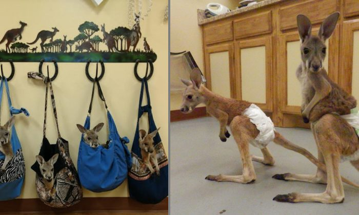 An undated photo of baby kangaroos called joeys in Mount Pleasant, Texas. (Tri Lakes Exotics/Facebook)