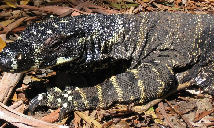 A goanna (Creative Commons Attribution-Share Alike 2.5 Generic license.)