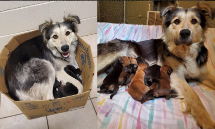 A border collie/husky mix named Casey, along with her nine puppies, was found in a sealed box at a landfill in British Columbia, Canada, on June 5, 2019. (BC SPCA)