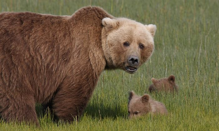 Stock image of a bear with her cubs. (Skeeze/Pixabay)