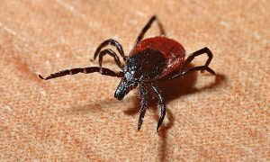 17-Year-Old Boy Dies of Heart Infection From Tick Bite