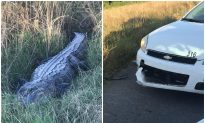 8-Foot-Long Gator Takes a Bite out of Patrol Car Before Escaping