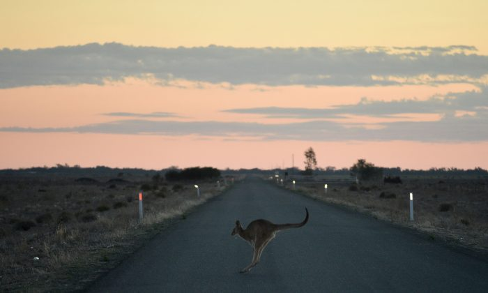 This picture taken on September 27, 2018 shows a kangaroo hopping across the road outside the town of Booligal in western New South Wales. (PETER PARKS/AFP/Getty Images)