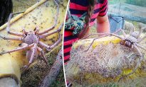 Woman Finds HUGE Huntsman Spider the Size of a Dinner Plate and Rescues It With a Broom