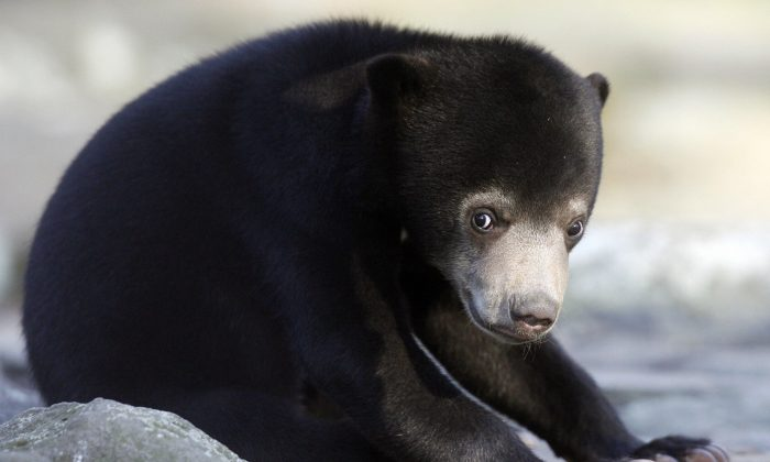 A sun bear is pictured in a Berlin zoo in a file photo. (Clemens Bilan/AFP/Getty Images)