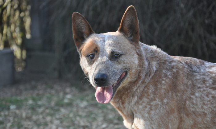 An Australian cattle dog is pictured in this file photo. (Pixabay)