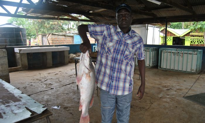 Benard Oluoch holds a Nile perch fish that he has received from fishermen at his shed in Dunga beach on Lake Victoria on June 11, 2019