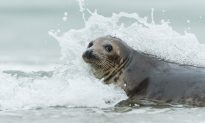 Cheeky Seal Goes Surfing Off the Australian Coast, but See Who's Giving It a Free Ride