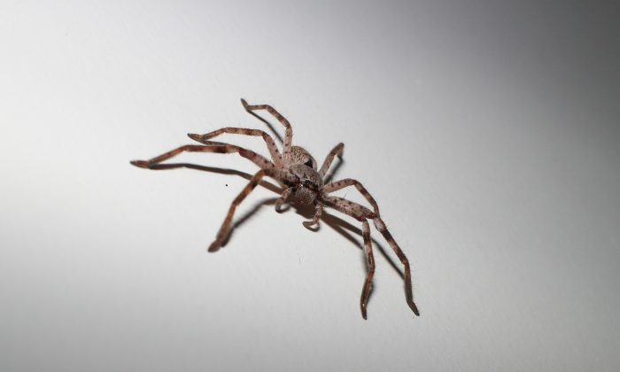 A huntsman spider in a stock photo. (j8acob/Pixabay)