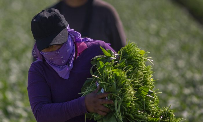 Farm workers harvest spinach in a file photo. (David McNew/AFP/Getty Images)