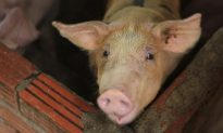 Asian Nations Scramble to Contain Pig Disease Outbreaks That Spread From China