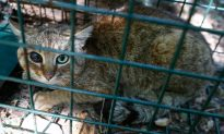 'Extraordinary:' 'Cat-Fox' Animal Believed to Be a New Species