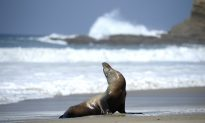 Sea Lion Lunges out of Surf to Bite Teenage Girl on California Beach