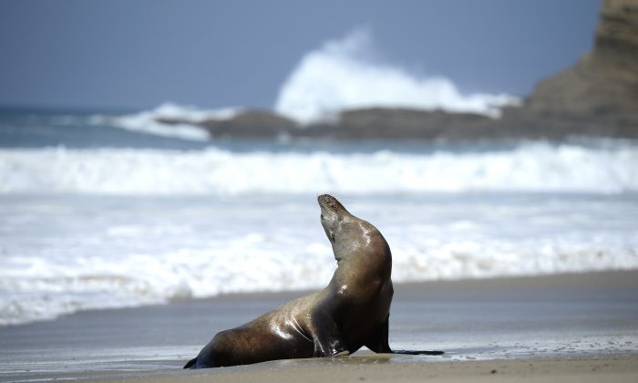 In this file image a stranded adult sea lion is seen in the sand in Laguna Beach, California, on March 30, 2015. (Robyn Beck/AFP/Getty Images)