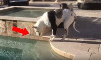Owner Tells Great Dane 'You Can't Swim With Your Jacket On' – His Tantrum Is Hilarious