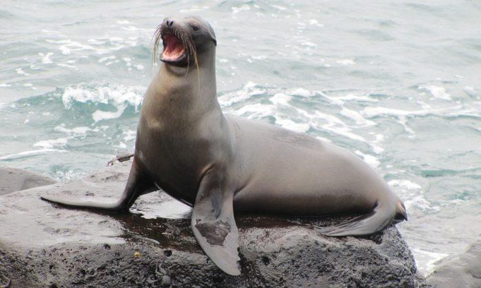 Stock image of a sea lion.  (Sebastian_photos/Pixabay)