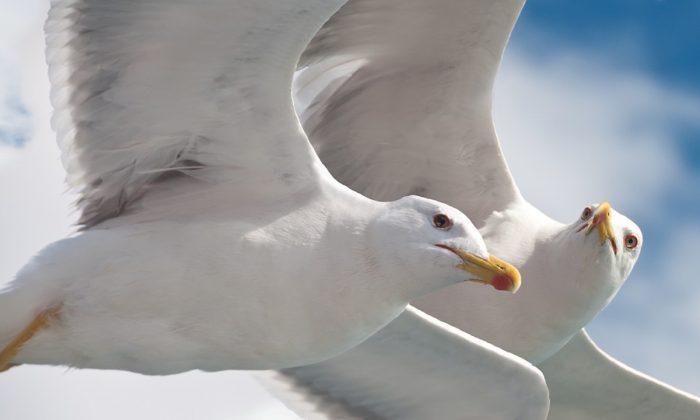 Stock image of sea gulls. (Nyfrese/Pixabay)