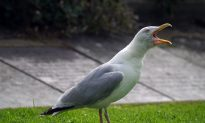 Bright Orange Bird Turns Out to Be Seagull Covered in Curry