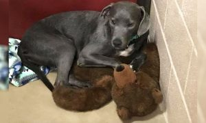 Heartbroken Puppy Clings to Giant Teddy Bear When Family Abandons Her Within Few Months