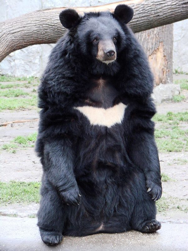 Asian black bear