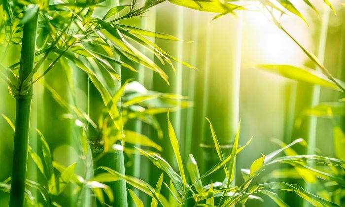 With bamboo's seemingly unlimited benefits, you will want to find ways to include bamboo leaves and shoots in your diet.(fotohunter/Shutterstock)
