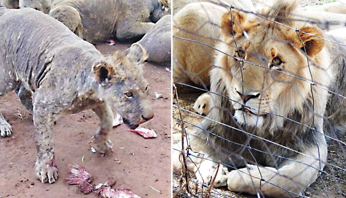108 mangy lions found in abandoned breeding facility in South Africa, bred for their BONES