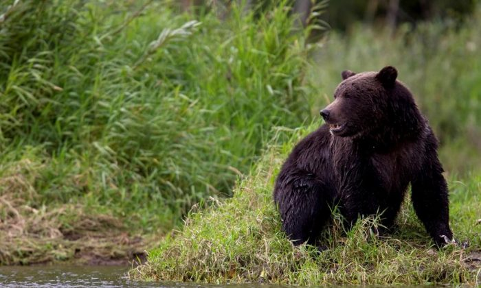 A grizzly bear is seen fishing along a river in Tweedsmuir Provincial Park near Bella Coola, B.C. on Sept 10, 2010. (Jonathan Hayward/The Canadian Press)