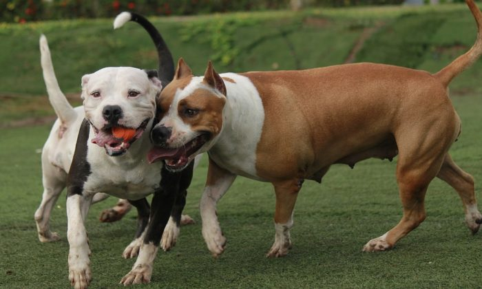 4 Pit Bulls 'Running Wild' Attack Woman and Dog During Walk