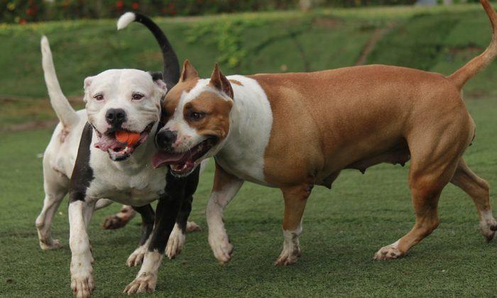 Stock image of pit bulls. (TC-TORRES/Pixabay)