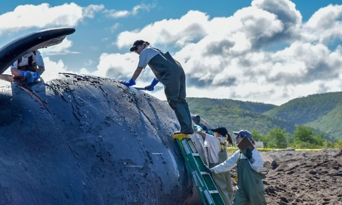 A North Atlantic right whale found dead in the Gulf of St. Lawrence has been brought to shore on western Cape Breton for a necropsy on June 24, 2019 (HO, DFO/Fisheries and Oceans Canada/The Canadian Press)