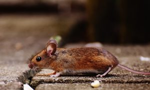 Woman Dies Due to Virus from Rodent Droppings, Officials Urge Vigilance