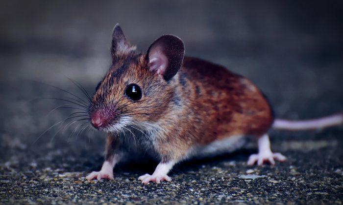 Stock image of a mouse. (Alexas_Fotos/Pixabay)