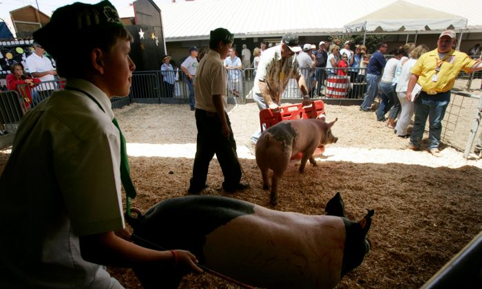 Members of the Fallbrook 4-H Club move their hogs into the show-ring during competition at the San Diego County Fair June 29, 2005 in Del Mar, California.  (Sandy Huffaker/Getty Images)