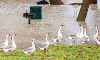 Denver to Control Growing Geese Population by Killing and Donating Them as Meat to 'Needy Families'