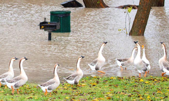 Geese walking in Towne Lake Park in McKinney, Texas on Nov. 27, 2015. (Smiley N. Pool/The Dallas Morning News via AP)