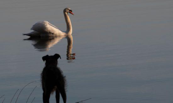 Swan Kills Cocker Spaniel in Dublin Park